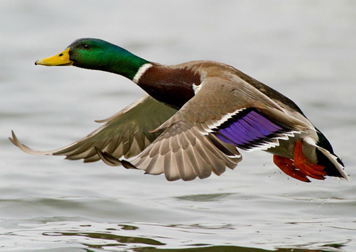 duck-orig